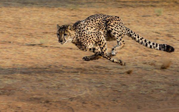 cheetah-2859581_1280